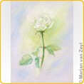 Postcards M. v. Zeyl - White Rose